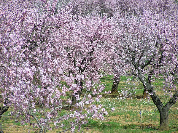 flowered almond trees in the jalon valley costa blanca countryside