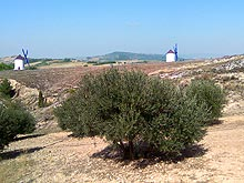 Windmills and olive trees between Madrid and Albacete in Castile, Spain